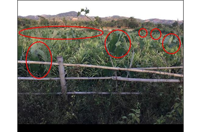 ショウガの栽培及び製造過程写真2